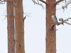 Pilgrimsfalk (Falco peregrinus, Peregrine Falcon) Lidhemssjön, Växjö, Sm.