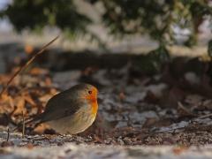 Rödhake (Erithacus rubecula, European Robin) Söder, Växjö, Sm.