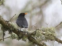 Koltrast hane Turdus merula Common Black Bird