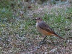 Rödstjärt hona (Phoenicurus phoenicurus,  Common Redstart) Västernäs, Ramdala