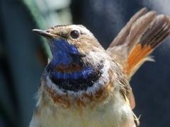 Blåhake, ringmärkning (Luscinia svecia, Bluethroat). Ottenby fågelstation, Öl.