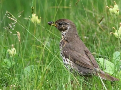 Taltrast Turdus philomelos Song Thrush