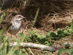 Blåhake, ungfågel (Luscinia svecia, Bluethroat). Fyrträgården, Ottenby, Öl.