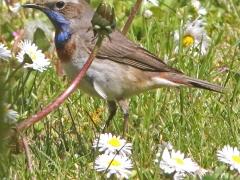 Blåhake, hane (Luscinia svecia, Bluethroat). Fyrträgården, Ottenby, Öl.
