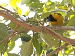 Southern Masked-Weaver (Ploceus velatus). Johannesburg.
