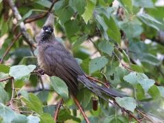Vitkindad musfågel (Colius striatus, Speckled Mousebird) Johannesburg.