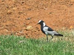 Smedvipa (Vanellus armatus, Blacksmith Lapwing).