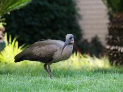 Hadadaibis (Bostrychia hagedash, Hadada Ibis) i hotellets trädgård i Johannesburg där vi gjorde första övernattningen. En hel del andra trevliga fåglar fanns att hitta mitt inne i storstadens parker och grönområden.