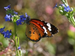Kirstenbosch National Botanical Garden. Sydafrika, Cape Town.