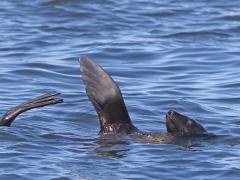 Cape Fur Seal. (Arctocephalus pusillus).  Cape Town.
