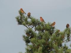 Större korsnäbb (Loxia pytyopsittacus, Parrot Crossbill) Friseboda,  Åhus, Sk.