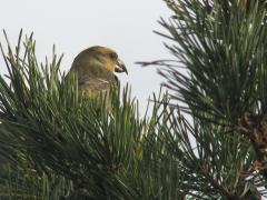 Större korsnäbb, hona (Loxia pytyopsittacus, Parrot Crossbill) Friseboda, Åhus, Sk.