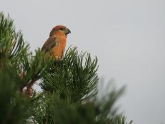 Större korsnäbb, hane (Loxia pytyopsittacus, Parrot Crossbill) Friseboda, Åhus, Sk.
