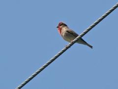 Rosenfink, hane (Carpodacus erythrinus, Common Rosefinch) Egeside, Åhus, Sk.