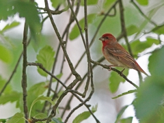 Rosenfink Carpodacus erythrinus Common Rosefinch