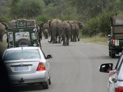 Afrikansk elefant (Loxodonta africana, African Elephant). Man känner sig ganska liten omgiven av en flock vilda elefanter!
