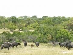 Afrikansk buffel (Syncerus caffer, African Buffalo). Ett av de djur som enligt statistiken är ett av de djur som är farligast för människan.