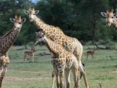 Giraff (Giraffa camelopardis, Giraffe).