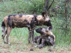 Afrikansk vildhund (Lycaon pictus, Wild Dog). Ses mera sällan i parken och var kanske den art som våra guider blev mest upphetsade för.