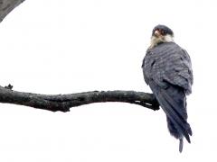 Amurfalk ( Falco amurensis, Amur Falcon). Har en extrem flyttväg från Ostasien till bland annat Sydafrika.
