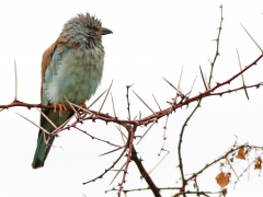 Europeisk blåkråka (Coracias naevius, European Roller).