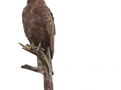 Brown Snake-Eagle (circaetus cinereus)
