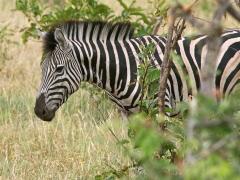 Zebra ( Equus quagga, Common Zebra).