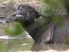 Afrikansk buffel (Syncerus caffer, African Buffalo).