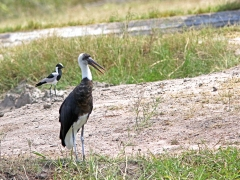 Ullhalsstork (ciconia episcopus, Wolly-necked Stork) och smedvipa (Vanellus armatus, Blacksmith Lapwing).