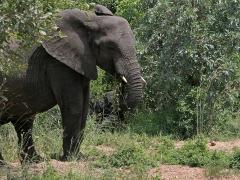 Afrikansk elefant (Loxodonta africana, African Elephant). Här var vi nog inte mer än knappt 20 meter från  den här honan med unge då hon bestämde sig för att vi var nära och kom rakt mot oss.  Det blev snabbackning med jeepen!