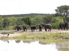 Afrikansk elefant (Loxodonta africana, African Elephant).