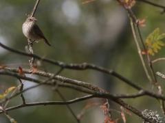 Grå flugsnappare (Muscicapa striata, Spotted Flycatcher) Senoren, Ramdala, Blekinge