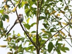 Stjärtmes juv. (Aegithalos caudatus, Long-tailed Tit)