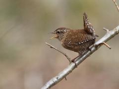 Gärdsmyg (Troglodytes troglodytes, Winter Wren)