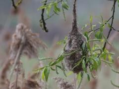 Pungmes (bo) Remiz pendulinus Eurasian Penduline Tit