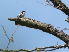 Halsbandsflugsnappare, hane (Ficedula albicollis, Collored Flycatcher)Bialowieza, Poland