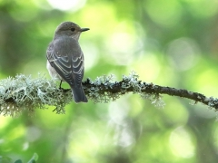 Svartvit flugsnappare hona (Ficedula hypoleuca, Pied Flycatcher)