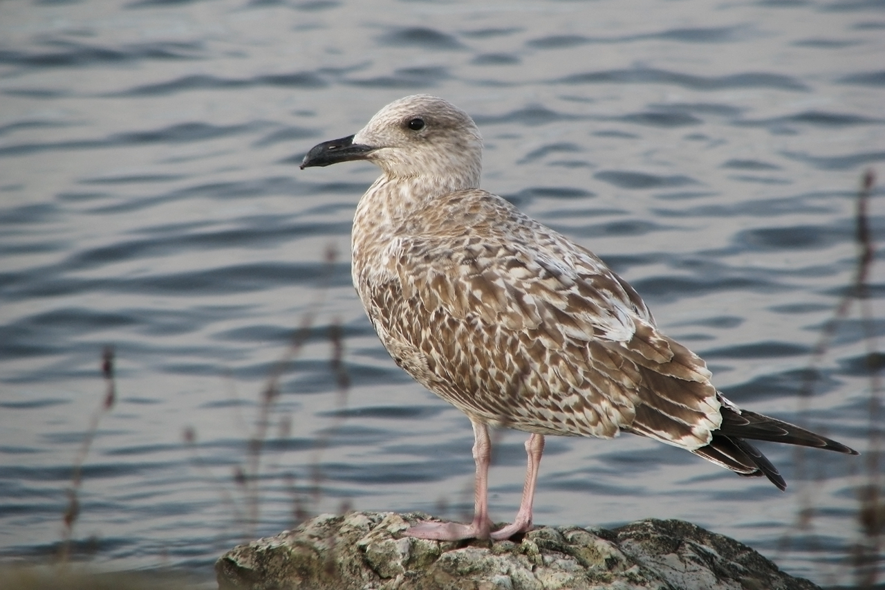 Gråtrut Larus argentatus European Herring Gull