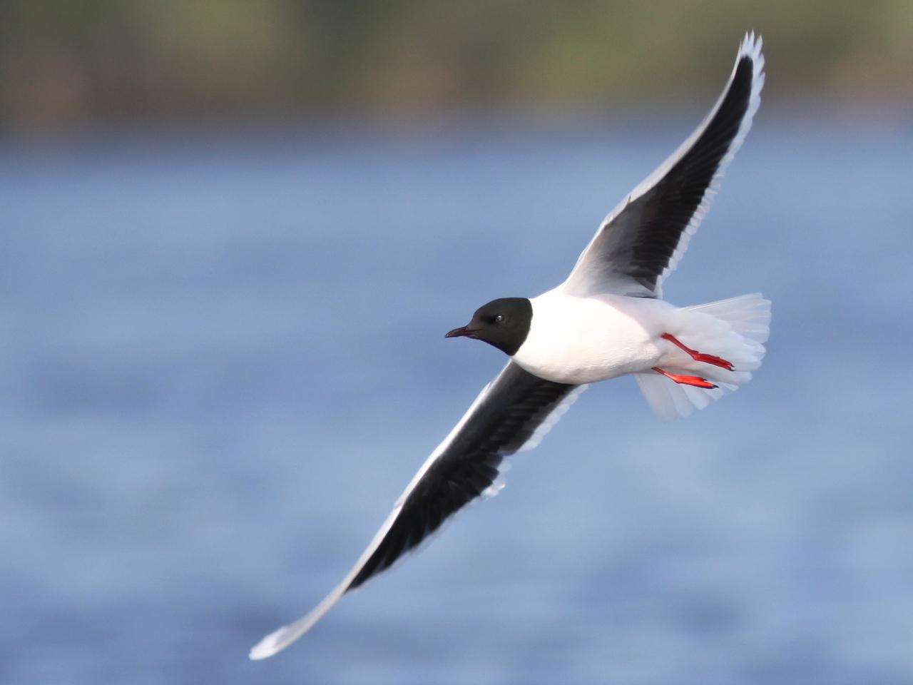 Dvärgmås Hydrocoloeus minutus Little Gull