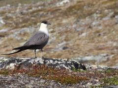 Fjällabb Stercorarius longicaudus Long-tailed Skua