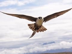 Fjällabb (Stercorarius longicaudus, Long-tailed Skua) Njulla, Abisko