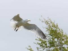 Gråtrut Laurus argentatus European Herring Gull