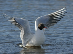 Skrattmås (Croicocephalus ridibundus, Black-headed Gull) Hornborgasjön, Vg.