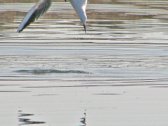 Långnäbbad mås Chroicocephalus genei Slenderbilled Gull (Spain)