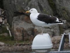 Havstrut (Larus marinus Great, Black-backed Gull) Brännö, Göteborgs skärgård