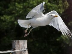 Gråtrut (Larus argentatus, European Herring Gull) Tjärö, Bl.
