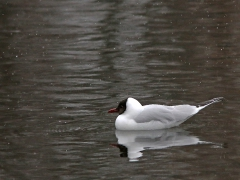 Skrattmås (Croicocephalus ridibundus, Black-headed Gull) Hässleholm, Sk.
