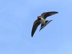 Ladusvala Hirundo rustica Barn Swallow