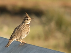 Tofslärka Gallerida cristata Crested Lark (Lesvos Greece)
