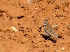 Dvärglärka (Callandrella ruescens, Lesser Short-toed Lark) Spain.